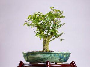 Ligustr chiński #2